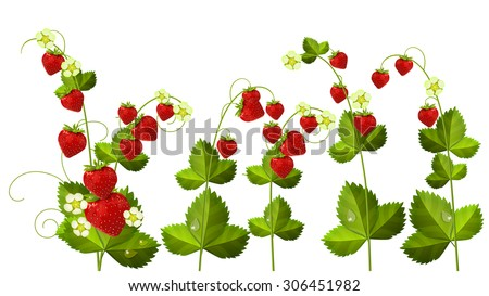 Wild strawberry - flowers and berries isolated on white - stock vector