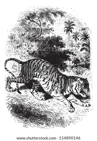 Wild tiger in forest, vintage engraved illustration. Animaux Sauvages et Domestiques - For kids - 1892.
