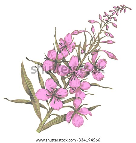 Willow-Herb. Flower. Pencil Drawing.