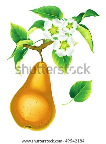 Yellow pear flowering - stock vector