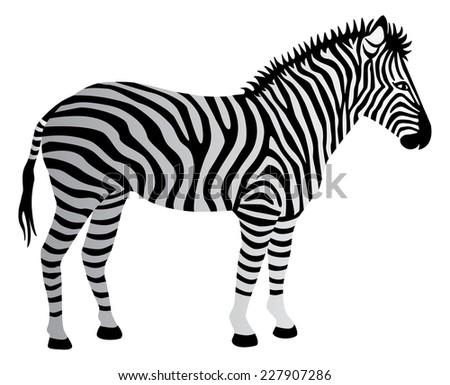 Zebra illustration. - stock vector