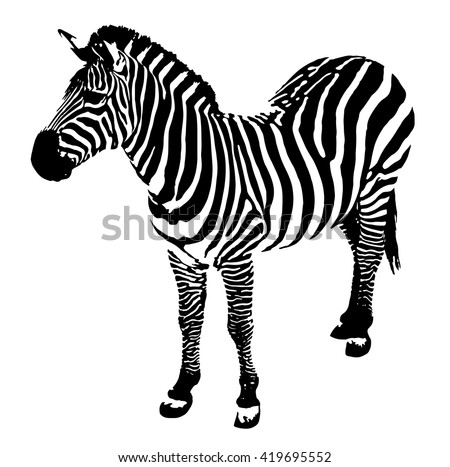 Zebra on a white background