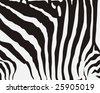 zebra stripes - stock photo