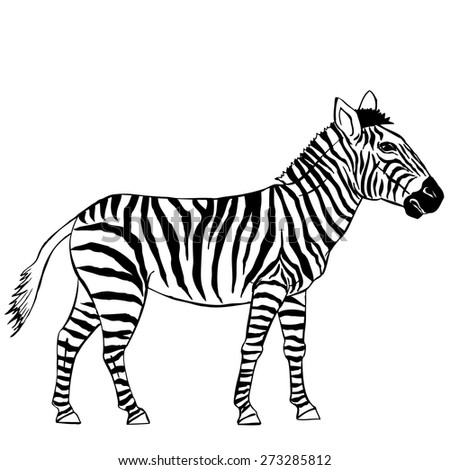 Zebra. Vector Illustration - stock vector