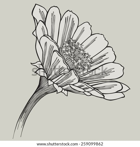 Zinnia flower, hand-drawing. Vector illustration. - stock vector